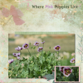 where pink poppies live